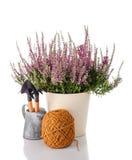 石南花在一个罐和园艺工具开花在白色背景 图库摄影