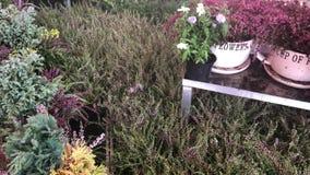 石南花在园艺中心 影视素材