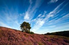 石南花开花的小山和天空 库存照片