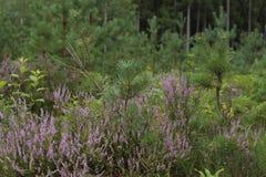 石南花,寻常的紧急电报,开花在森林里 免版税图库摄影