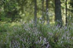 石南花,寻常的紧急电报,开花在森林里 库存图片