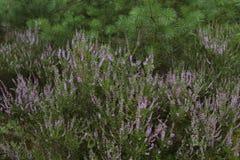 石南花,寻常的紧急电报,开花在森林里 免版税库存图片