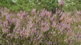 石南花紫色花在秋天森林里 股票录像