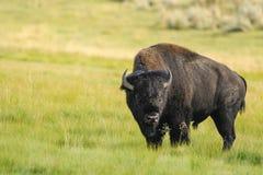 黄石国家公园,美国北美野牛  免版税库存照片