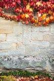 石墙有红色常春藤背景 库存图片