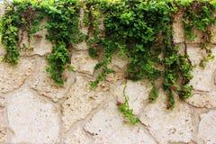 石墙纹理有常春藤植物的 库存照片
