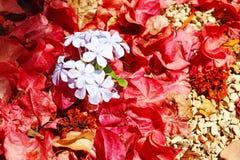 石墨在石渣道路的auriculata花 库存图片