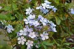 石墨auriculata花在浅兰的紫色树荫下 免版税库存照片