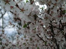 石头城樱桃李属tomentosa,韩国樱桃,满族的樱桃,柔软的樱桃,中国樱桃,中国樱桃,中国樱桃,脊椎 免版税库存图片