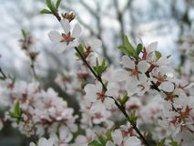 石头城樱桃李属tomentosa,韩国樱桃,满族的樱桃,柔软的樱桃,中国樱桃,中国樱桃,中国樱桃,脊椎 库存图片