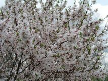 石头城樱桃李属tomentosa,韩国樱桃,满族的樱桃,柔软的樱桃,中国樱桃,中国樱桃,中国樱桃,脊椎 库存照片