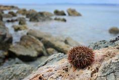 石头的海胆 库存照片