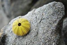 石头的海胆 库存图片
