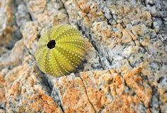 石头的海胆 免版税库存照片