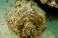 石头鱼synanceia verrucosa 免版税库存照片