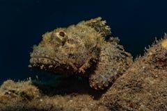 石头鲈令人惊讶的伪装在红海 免版税库存图片