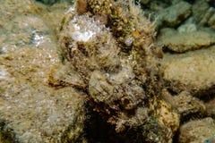 石头鲈令人惊讶的伪装在红海 库存照片