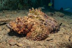 石头鲈令人惊讶的伪装在红海 免版税库存照片