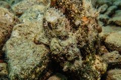 石头鲈令人惊讶的伪装在红海 免版税图库摄影