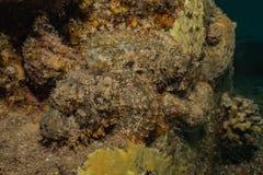 石头鲈令人惊讶的伪装在红海 库存图片
