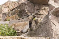 石山羊。 免版税库存照片