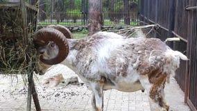石山羊吃 股票视频
