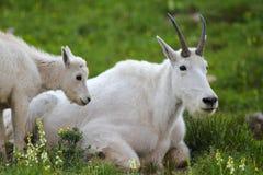 石山羊和被找到的孩子关闭在原野 免版税库存照片