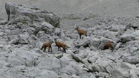 石山羊在一个岩石地形 股票录像