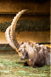 石山羊在动物园里 免版税图库摄影