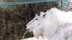 石山羊在动物园里 影视素材