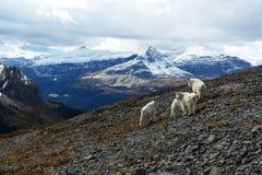 石山羊在卡纳纳斯基斯,加拿大落矶山 免版税图库摄影