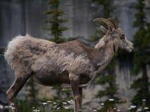 石山羊在国家公园 图库摄影