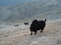 石山羊在土耳其 库存照片