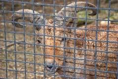 石山羊在笼子的动物园里 哺养的大有角的野生动物 说谎在地面山羊淡色,动物在a 库存照片