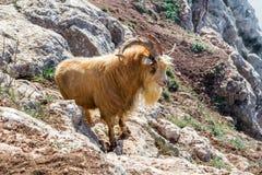 石山羊在自然生态环境 免版税库存图片