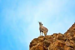 石山羊在莱赫, 图库摄影