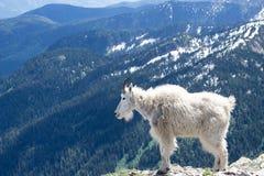石山羊在蒙大拿 库存图片