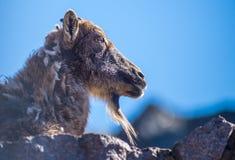 石山羊坐一个摇滚的顶头特写镜头 库存图片