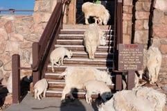 石山羊家庭  库存照片