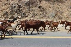 石山羊牧群 图库摄影