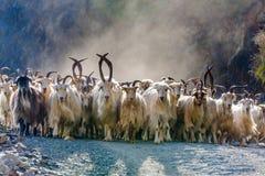 石山羊牧群 免版税图库摄影