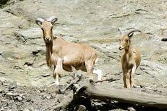石山羊,在布拉格动物园的友好的动物 免版税库存照片