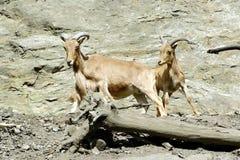 石山羊,在布拉格动物园的友好的动物 免版税库存图片
