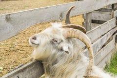 石山羊 一只滑稽的石山羊 图库摄影
