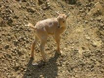 石山羊婴孩 免版税库存照片