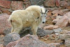 石山羊 免版税图库摄影