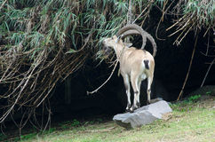 石山羊 库存照片