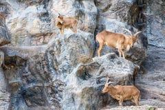 石山羊 免版税库存照片
