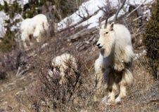石山羊 库存图片