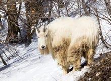 石山羊 免版税库存图片